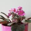 african violet saintpaulia flowering indoor plants houseplants plant sale Mississauga Toronto Etobicoke Brampton Burlington GTA