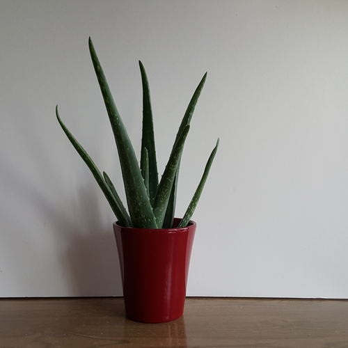 aloe vera in 3.5 inch pot medicinal plant for bright location indoor plants Mississauga GTA