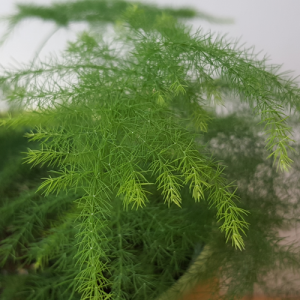 Indoor plants houseplants airpurifyng plants indoors plant sale Interiorplants plant gifts GTA Mississauga Toronto Etobicoke Brampton Burlington Hamilton Oakville Ontario Richmond Hill North York GTA Asparagus Fern Plumosa