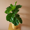 Fiddle-leaf fig (Ficus lyrata) available in GTA (Toronto, Mississauga)
