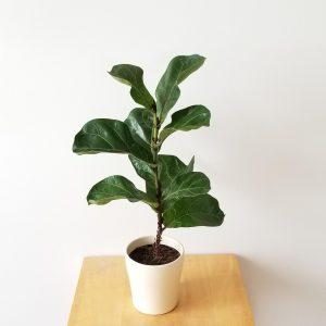Indoor plants houseplants Interior plants air-purifying plants indoor plant sale Mississauga Toronto Etobicoke Oakville Brampton Burlington GTA Fiddle-Leaf-Fig Ficus Lyrata