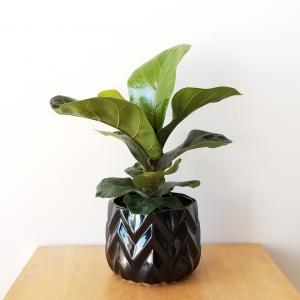 Indoor plants houseplants green plants for indoors interiorplants Plant shop GTA Mississauga Toronto Etobicoke Brampton Burlington Oakville Hamilton Ficus lyrata Fiddle-leaf-fig