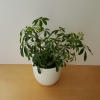 schefflera arboricola in 6 inch pot available at our store GTA