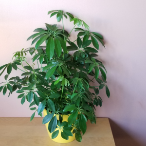 schefflera arboricola bush indoor plant houseplant office plants interiorplants plant sale Mississauga Toronto Brampton Burlington Oakville GTA
