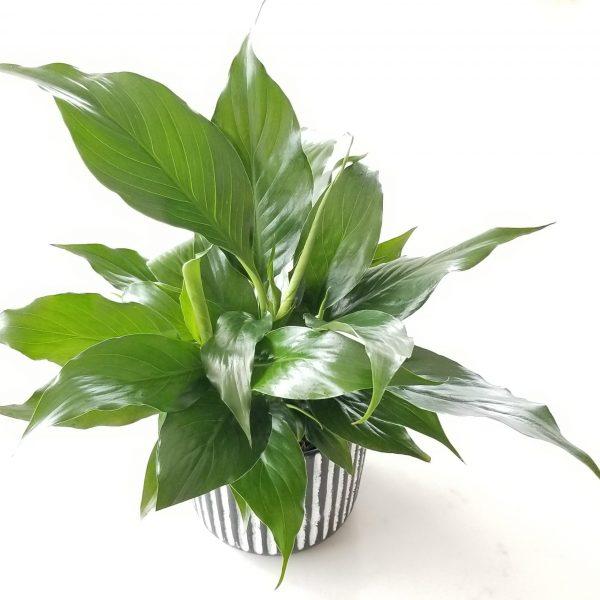 Indoor plants houseplant sale Interiorplants plant gifts Mississauga Toronto Etobicoke Brampton Burlington Hamilton Oakville Ontario Richmond Hill North York GTA Peace Lily air-purifying plants