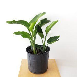 Indoor plants houseplant sale Interiorplants plant gifts Mississauga Toronto Etobicoke Brampton Burlington Hamilton Oakville Ontario Richmond Hill North York GTA Strelitzia Nicholai White Bird of Paradise