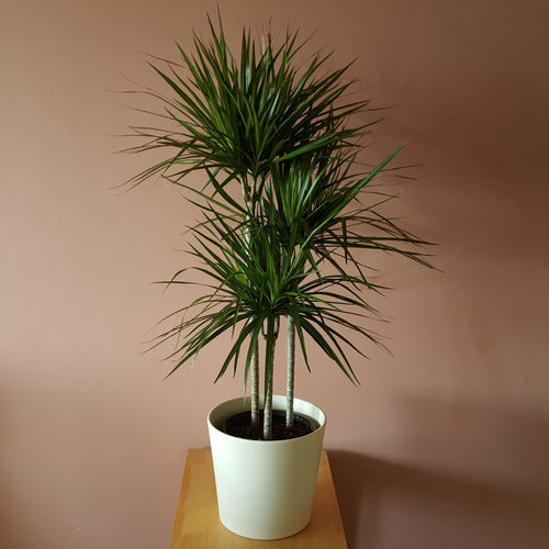 Dragon tree for Dracaena marginata
