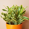 dracaena reflexa song of India indoor plants houseplants office plants interior plants plant sale Mississauga Toronto Brampton Burlington Oakville GTA