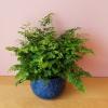 maidenhair fern adiantum indoor plants houseplants plant sale Mississauga Toronto Brampton Burlington Oakville GTA