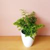 fern maidenhair adiantum indoor plants houseplants plant sale Mississauga Toronto Oakville Brampton Burlington GTA