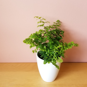 fern maidenhair adiantum indoor plants houseplants plant sale Mississauga Toronto Oakville Brampton Burlington GTA