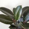 ficus rubber burgundy indoor plants houseplants office plants plant sale Toronto Mississauga Brampton Burlington Oakville Hamilton GTA