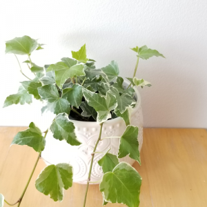 ivy variegated air-purifying indoor plants houseplants plant sale Etobicoke Toronto Mississauga Brampton Burlington Hamilton Oakville GTA