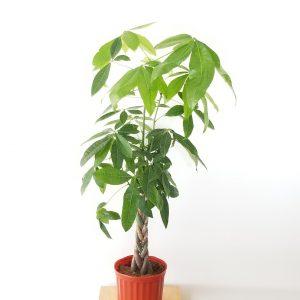 Indoor plants houseplant sale Interiorplants plant gifts Mississauga Toronto Etobicoke Brampton Burlington Hamilton Oakville Ontario Richmond Hill North York GTA Pachira aquatica Money Tree