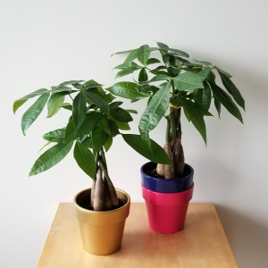 pachira money tree indoor plants good fortunate plant houseplant plant sale Toronto Mississauga Etobicoke Oakville Burlington Brampton GTA