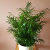 Chamaedorea elegans (Parlour Palm) green foliage plants in ceramic decorative container