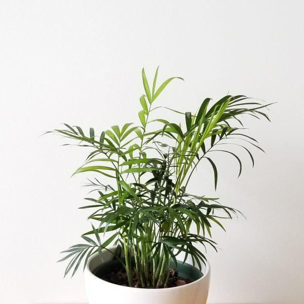 Indoor plants houseplants Interior plants air-purifying plants indoor plant sale Mississauga Toronto Etobicoke Oakville Brampton Burlington GTA Parlour palm Chamaedorea elegans