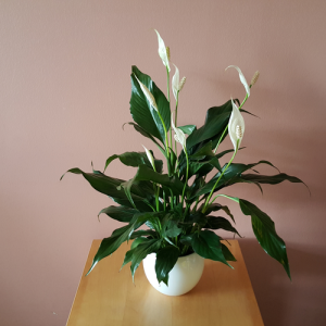 Peace Lily in 4 inch indoor plants houseplants interiorplants plants for low light flowering plant Mississauga GTA