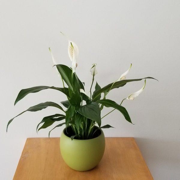 plant gifts air-purifying indoor plants sale Mississauga Toronto Brampton Oakville Etobicoke Burlington GTA Peace Lily with flowers