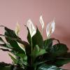 Peace lily in flowers air-purifying indoor plants houseplants interiorplants office plants plant sale Mississauga Toronto Etobicoke Brampton Burlington Oakville GTA Christmasgifts