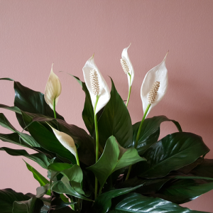Peace lily in flowers air-purifying indoor plants houseplants interiorplants office plants plant sale Mississauga Toronto Etobicoke Brampton Burlington Oakville GTA Christmasgifts