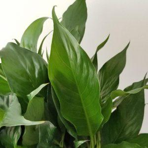 Indoor plants houseplant sale Interiorplants plant gifts Mississauga Toronto Etobicoke Brampton Burlington Hamilton Oakville Ontario Richmond Hill North York GTA Spathiphyllum Peace Lily air-purifying