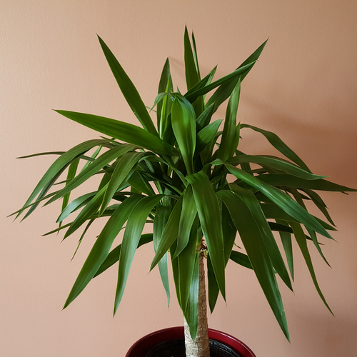 yucca indoor plants houseplants direct sun plant sale Mississauga Toronto GTA