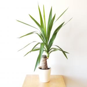 Yucca indoor plants houseplants office plants interior plants plant sale Toronto Etobicoke Mississauga Brampton Burlington Oakville GTA