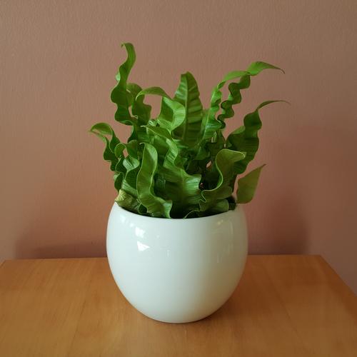 fern 'crispy wave' 4inch in lisa 4.5inch white ceramic