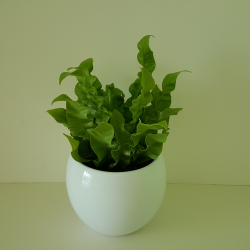 fern 'crispy wave' 4inch Natural indoor air cleaner. Available in Mississauga, Toronto, Brampton, Oakville, Burlington (GTA)