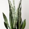 sansevieria zeylanica snakeplant 10 inch container indoorplants houseplants interiorplants office plants air-purifying plants plant sale Mississauga Toronto Brampton Etobicoke Burlington Oakville GTA