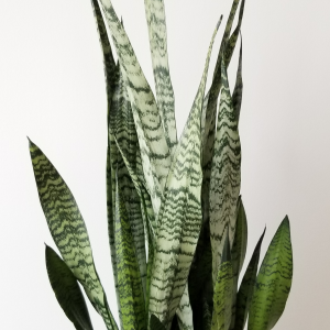 sansevieria zeylanica snakeplant 10 inch container indoorplants houseplants interiorplants office plants air-purifying plants plant sale Mississauga Toronto Brampton Etobicoke Burlington Oakville GTA