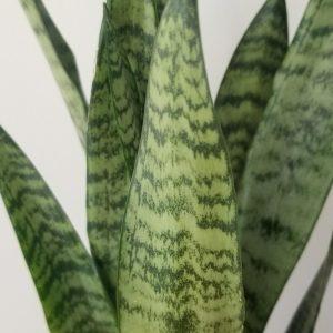 Indoor plants houseplant sale Interiorplants plant gifts Mississauga Toronto Etobicoke Brampton Burlington Hamilton Oakville Ontario Richmond Hill North York GTA Sansevieria zeylanica snake plant air-purifying plants