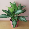 Aglaonema Silver Bay (Chinese evergreen) in 6 inch pot indoor plants for low light houseplants plant sale Mississauga GTA