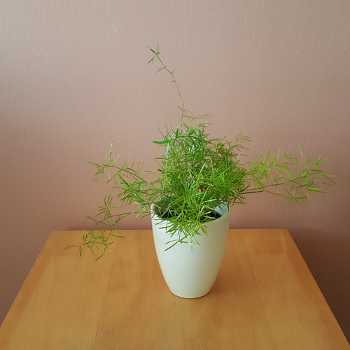 asparagus fern sprengeri in 4inch white ceramic