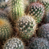 cacti assorted 1.5 inch plant sale in Toronto