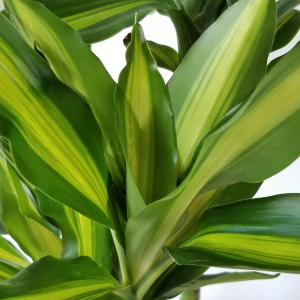 Dracaena Cintho air-purifying interiorplants indoor plants houseplants air-purifying interiorplants plant sale Mississauga Toronto Etobicoke Brampton Burlington Oakville Hamilton North York Richmond Hill GTA
