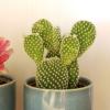 Cactus opuntia microdasys alba plant sale Toronto Etobicoke Mississauga Oakville Brampton Burlington GTA
