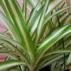 spider plant 6.5inch HB closeup