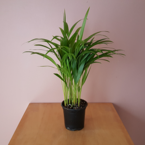 Areca Palm (Butterfly palm) in 4 inch Available in GTA (Toronto, Mississauga, Brampton, Oakville, etc)