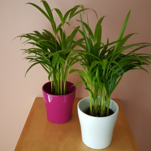 areca palms in 5 inch ceramic containers, various colors available in our plant store (3092 Mavis Rd, Mississauga, GTA)