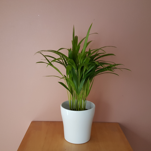 Areca Palm (Chrysolidocarpus lutescens) in 4, 6, 7 inch pots, available in Mississauga, GTA