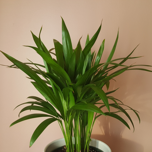 Chrysalidocarpus lutescens Areca palm in 6 inch indoor plants for medium bright light plant sale in Mississauga Toronto Brampton Oakville GTA