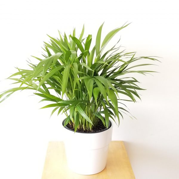 Indoor plants houseplants green plants for indoors interiorplants Plant shop GTA Mississauga Toronto Etobicoke Brampton Burlington Oakville Hamilton Areca Palm