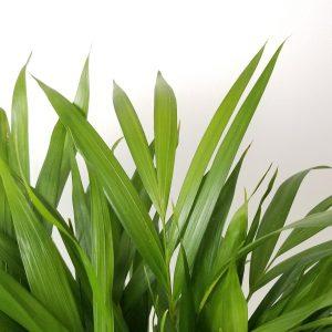 Indoor plants houseplants airpurifyng plants indoors plant sale Interiorplants plant gifts GTA Mississauga Toronto Etobicoke Brampton Burlington Hamilton Oakville Ontario Richmond Hill North York GTA air-purifying plant Areca Palm