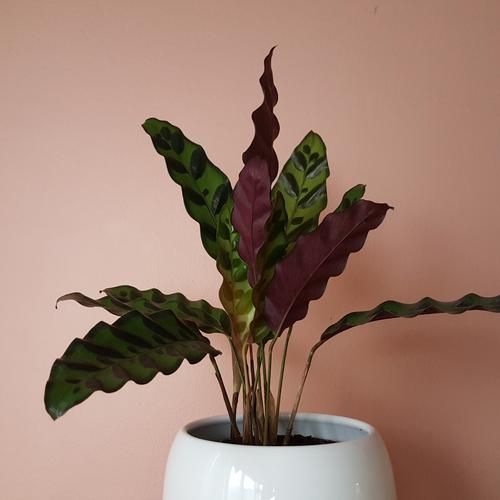calathea lancifolia rattlesnake 4 inch pot in white ceramic container