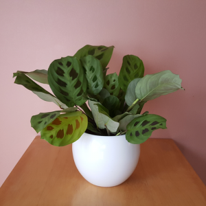 "maranta green prayer plant 4"" in a 4.5"" white ceramic decorative container"