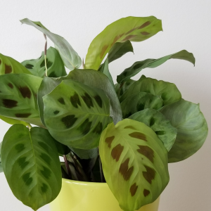 maranta green prayer plant indoor plants houseplants interiorplants plant sale Toronto Mississauga Etobicoke Brampton Burlington Oakville Hamilton GTA online shop delivery curbside pickup
