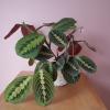 Maranta red (Prayer plant) various sizes available, Mississauga, Toronto, GTA