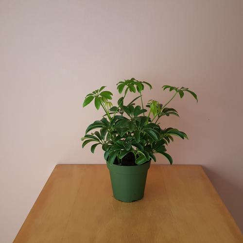 schefflera arboricola mini green in 3.5 inch pot